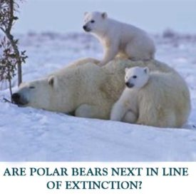 ARE-POLAR-BEARS-NEXT-IN-LINE-OF-EXTINCTION